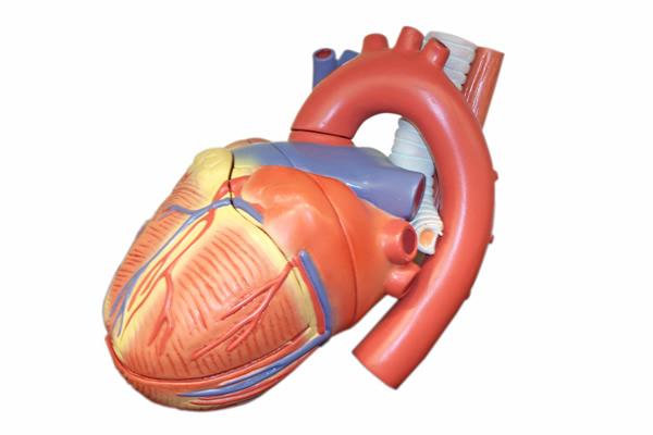 Herzfunktion und Blutdruck