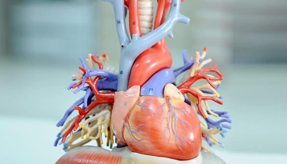 Aufbau und Funktion des menschlichen Herzens